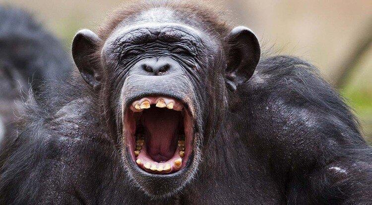 ماجرای ورود میمون ها به ایران چیست؟